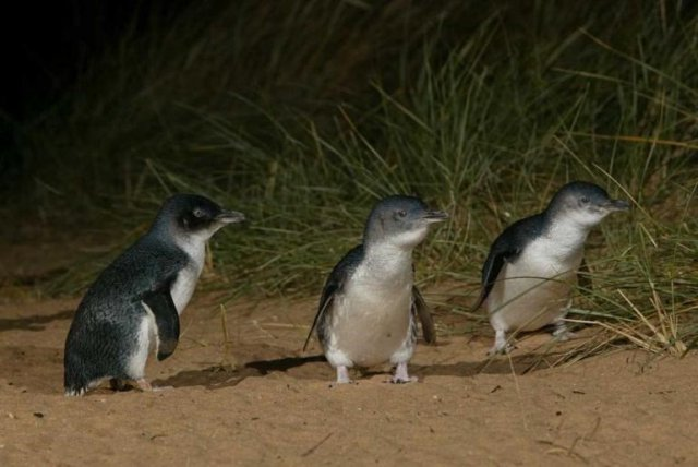 Parading Penguins